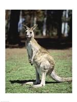 Kangaroo in a field, Lone Pine Sanctuary, Brisbane, Australia Fine Art Print