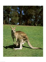 Kangaroo carrying its young in its pouch, Australia Fine Art Print