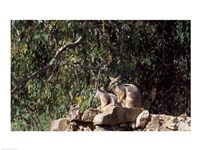 Yellow-Footed  Rock-Wallabies Australia Fine Art Print