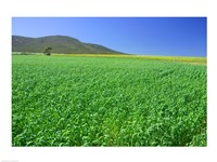 Panoramic view of a wheat field, Eyre Peninsula, Australia Fine Art Print