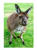 Portrait of a kangaroo, Australia Fine Art Print