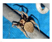 Spider, Garden Orb Weaver - various sizes