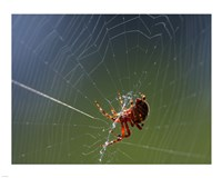 Spider Spinning Its Web Fine Art Print