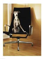 An Italian Greyhound sitting on a chair Fine Art Print