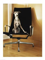 An Italian Greyhound sitting on a chair Fine Art Print
