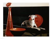 An Italian Greyhound lying on a sofa Fine Art Print