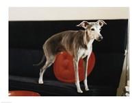 An Italian Greyhound standing on a sofa - various sizes