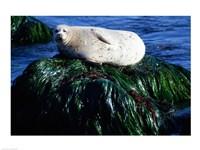 Harbor seal basking on a rock, Monterey, California, USA - various sizes