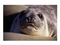 Seal - photo Fine Art Print