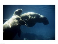 Two Pacific Walruses swimming underwater - various sizes, FulcrumGallery.com brand