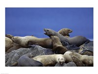 Steller Sea Lions - various sizes