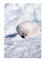 Harp Seal pup basking in snow Fine Art Print