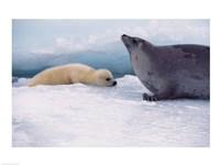 Harp Seals Adult And Baby Fine Art Print