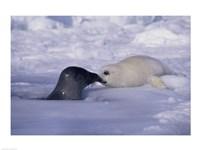Harp Seals Rubbing Noses - various sizes