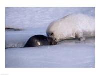 Harp Seals - various sizes