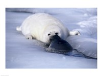 Harp Seal sniffing its pup - various sizes
