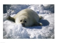 Harp Seal lying in snow - various sizes