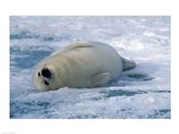 Harp Seal Rolling - various sizes