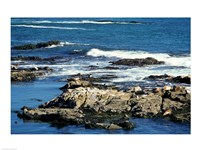 Seals on rocks at the coast, California, USA Fine Art Print