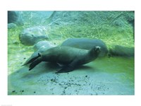 California Sea Lion - various sizes