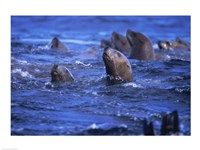 Steller Sea Lions - various sizes