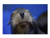 Close-up of a California Sea Lion swimming in water - various sizes