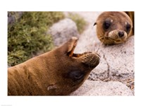 Close-up of two Sea Lions relaxing on rocks, Ecuador - various sizes