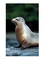 Galapagos Sea Lion Galapagos Islands Ecuador - various sizes - $29.99