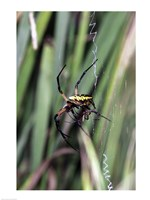 Close-up of an Argiope Spider - various sizes