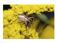 Close-up of a Lynx Spider carrying a bee Fine Art Print