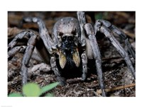 Close-up of a Carolina Wolf Spider Fine Art Print