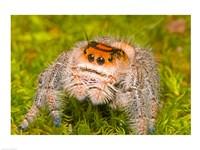 Regal Jumping spider in a field, Florida, USA Fine Art Print