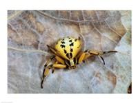 Crab Spider Fine Art Print