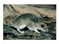 White-footed Mouse - various sizes