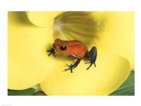 Strawberry Poison Dart Frog - various sizes