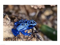 High angle view of a Blue Poison Arrow Frog on a rock - various sizes
