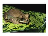 Big-eyed Treefrog - various sizes