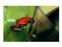 A Strawberry Poison small Frog - various sizes