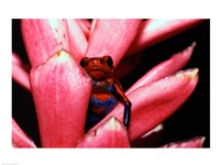 Close-up of a Strawberry Poison Dart frog - various sizes