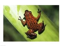 Strawberry Poison Frog - various sizes