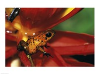 Strawberry Poison Frog - red flower - various sizes