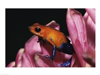 Strawberry Poison Frog - pink flower - various sizes