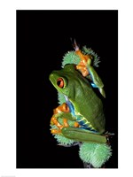 Red-Eyed Tree Frog - various sizes