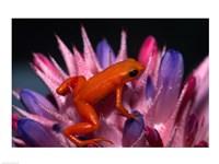 Golden Mantella Frog - various sizes