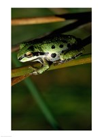 Pacific Tree Frog - various sizes