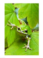 Close-up of a Green Tree Frog on a leaf Fine Art Print