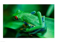 Red Eyed Tree Frog - various sizes