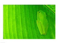 Green frog  hiding on a banana leaf, Costa Rica - various sizes