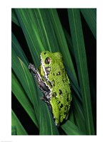 Close-up of a Barking Tree Frog resting on a leaf - various sizes