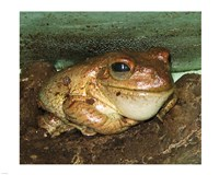 Cuban Tree Frog - various sizes